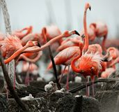 Great Flamingo  (Phoenicopterus ruber) Royalty Free Stock Images