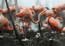 Great Flamingo (Phoenicopterus ruber) royalty free stock photography