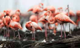 Great Flamingo  (Phoenicopterus ruber) Stock Photo