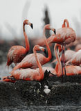 Great Flamingo  (Phoenicopterus ruber) Royalty Free Stock Photos