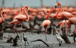 Great Flamingo  (Phoenicopterus ruber) Stock Images