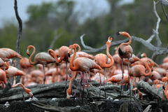 Great Flamingo (Phoenicopterus ruber) stock photography