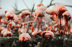 Great Flamingo  (Phoenicopterus ruber) Royalty Free Stock Photo