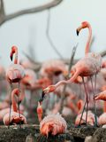Great Flamingo  (Phoenicopterus ruber) Stock Photos