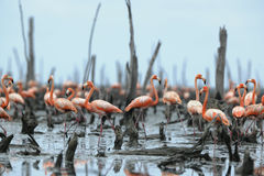 Great Flamingo  (Phoenicopterus ruber) Royalty Free Stock Image