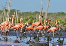 Great Flamingo  (Phoenicopterus ruber) Stock Image
