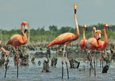 Great Flamingo  (Phoenicopterus ruber) Stock Image