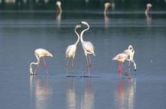 Great flamingos  in courtship Stock Photos