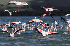 Lesser Flamingos flying away Royalty Free Stock Photography