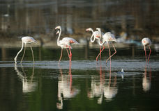 Great flamingos and reflection on water Royalty Free Stock Image
