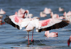 Lesser Flamingos spreading its enormous wings Royalty Free Stock Photo