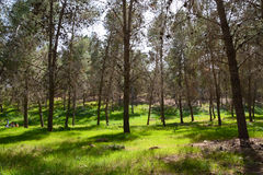 Great Forest. A forest at the south of Israel Stock Photos