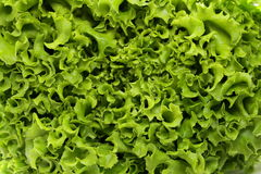 Great fresh organic green lettuce Royalty Free Stock Photo