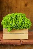 Great fresh organic green lettuce Stock Image