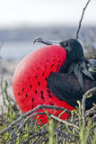 Great frigate bird Royalty Free Stock Photos