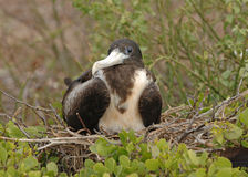 Great Frigate Bird, Galapagos Islands Royalty Free Stock Images