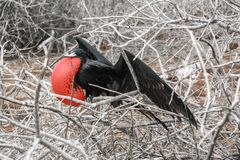 Male Frigate bird in courtship, Galapagos islands, Ecuador. royalty free stock photos