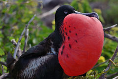 Great Frigatebird displaying Royalty Free Stock Photos
