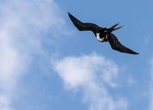 Great Frigatebird off Kauai at Kilauea. Great frigatebird cleanings its feathers while flying above Kilauea point in Kauai Stock Image