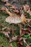 Great fruit body of parasol mushroom (Macrolepiota procera) Royalty Free Stock Images