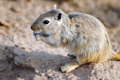 Great Gerbil Royalty Free Stock Photos