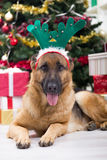 Great German shepherd  in Christmas night Royalty Free Stock Images