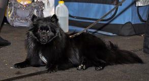 Great German Spitz dog Stock Photography