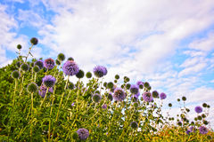 Great globe thistle Stock Photo