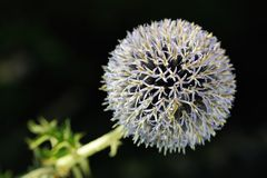 Great Globe Thistle (Echinops sphaerocephalus) Stock Images