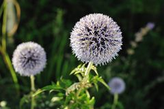 Great Globe Thistle (Echinops sphaerocephalus). Close-up of a Great Globe Thistle (Echinops sphaerocephalus) a flower with bristly petals in the late afternoon stock photos