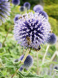 Great globe thistles Royalty Free Stock Photos