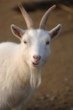 Great Goat Stock Photos