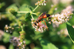 Great Golden Digger Wasp. Feeding On Mint In Sun Royalty Free Stock Images