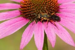 Great Golden Digger Wasp Royalty Free Stock Photos