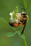 Great Golden Digger Wasp Stock Photos