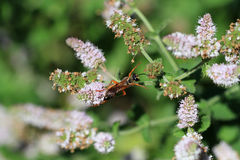 Great Golden Digger Wasp Royalty Free Stock Image