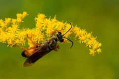 Great Golden Digger Wasp Stock Photo