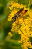 Great Golden Digger Wasp Royalty Free Stock Photo