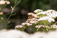 Great Golden Digger Wasp. Large orange wasp flying from flower to flower on a cool Summer morning. About two inches long and captured with a fast shutter on my royalty free stock images