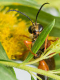 Great Golden Digger Wasp on Leaf Stock Photography