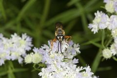 Golden digger wasp foraging for nectar on mountain mint flowers. Stock Images