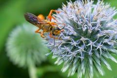 Great Golden Digger Wasp - Sphex ichneumoneus. Great Golden Digger Wasp collecting nectar from a round, lite blue flower. Rosetta McClain Gardens, Toronto royalty free stock photo