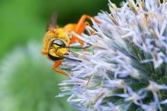 Great Golden Digger Wasp - Sphex ichneumoneus. Great Golden Digger Wasp collecting nectar from a round, lite blue flower. Rosetta McClain Gardens, Toronto stock photos