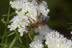 Golden digger wasp foraging for nectar on mountain mint flowers. Stock Photos