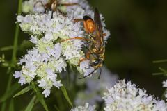 Golden digger wasp foraging for nectar on mountain mint flowers. Stock Image