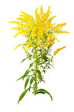Great Goldenrod Flower Royalty Free Stock Photography