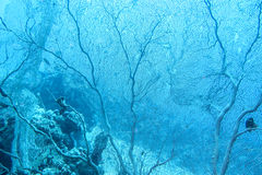 Great gorgonian at the bottom of tropical sea at great depths Stock Image