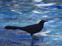 Great grackle black male in fountain Royalty Free Stock Photography