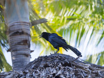 Great grackle black male singing Stock Photos