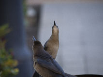 Great grackle female brown looking up Stock Image